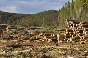 Clear Cutting / Logging a Pine Forest